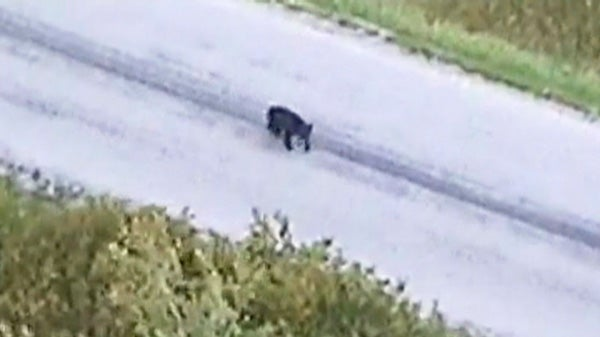 Image of the black bear scared away by a police helicopter was made public last week. Photo: CTV Canada