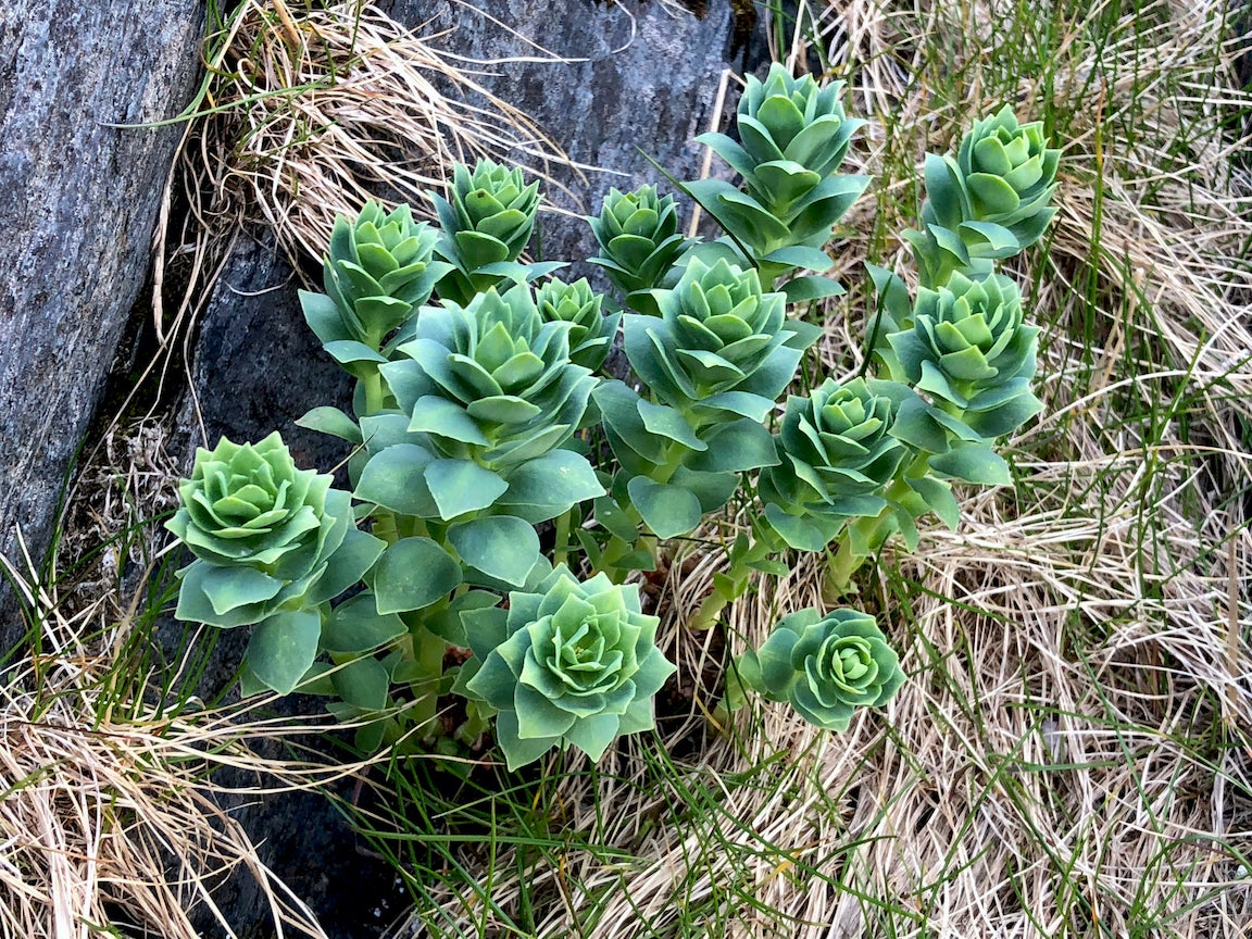 Rhodiola rosea on the rock near Slettnes Lighthouse, Norway