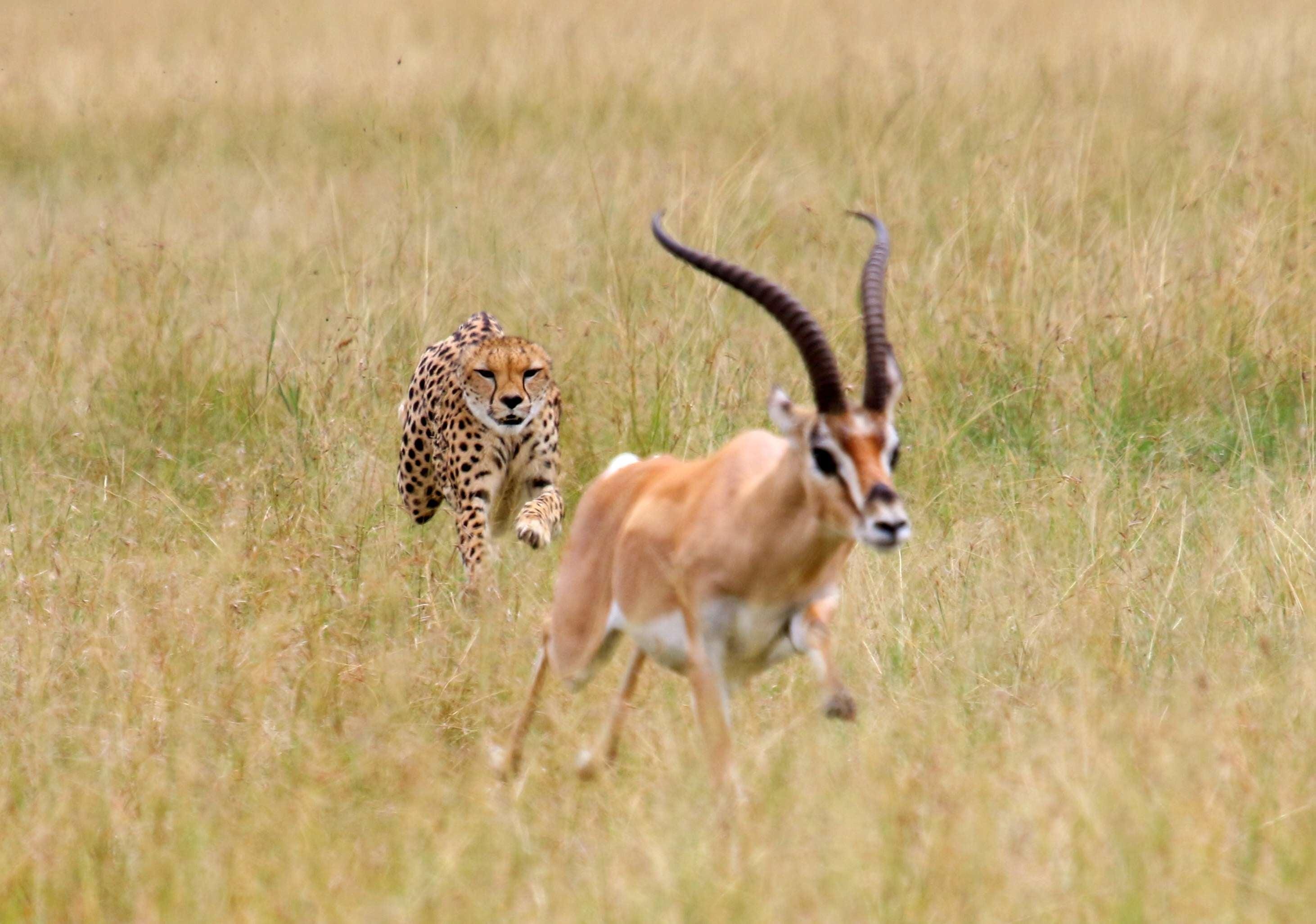 Cheetah Chasing Impala On Grassy Field